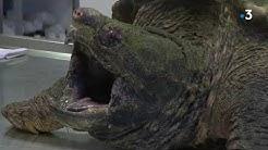 Une tortue alligator trouvée dans un parc des Alpes-Maritimes