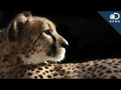 How Cheetahs Are Killing Themselves