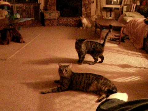 Addict cats for laser pointer!!
