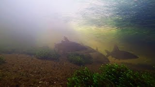 Underwater Hampshire Avon Upper Winkton Shoal Of Barbel Part 1