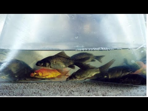 Curso Produção de Peixes Ornamentais - Ciclídeos e Caracídeos