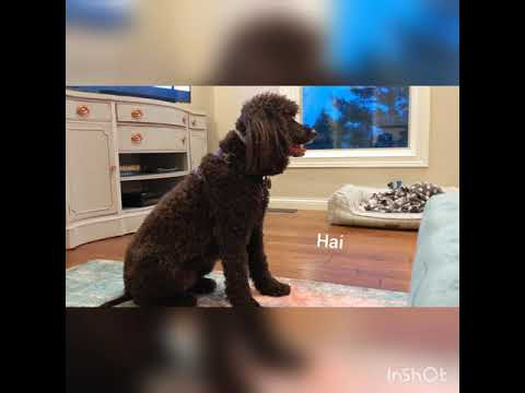 Jayda, the Irish water spaniel