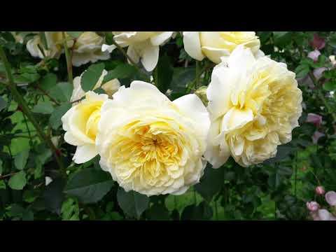 ✿➽ Розы flammentanz, Jasmina,, Caramella,The Pilgrim в нашем саду 2019