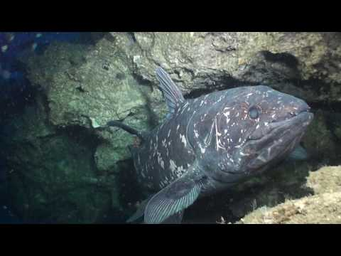 Diving With Coelacanths