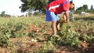El Cultivo de la Jícama en Cuilapam de Guerrero