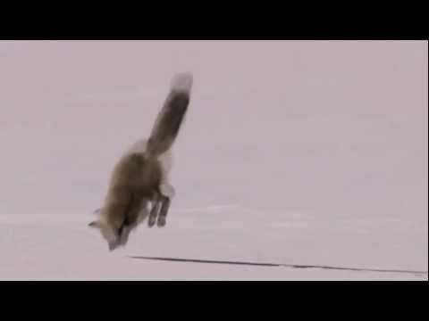 Insane Fox Dive in snow