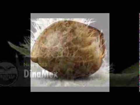 как посадить семена конопли в грунт - YouTube
