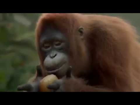 Monyet Joget Lagu Cita Citata