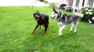 Mishka the Talking Husky plays with her boyfriend King!