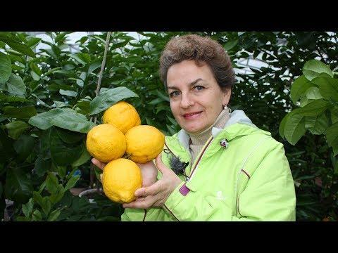 Как сделать прививку на лимоне видео
