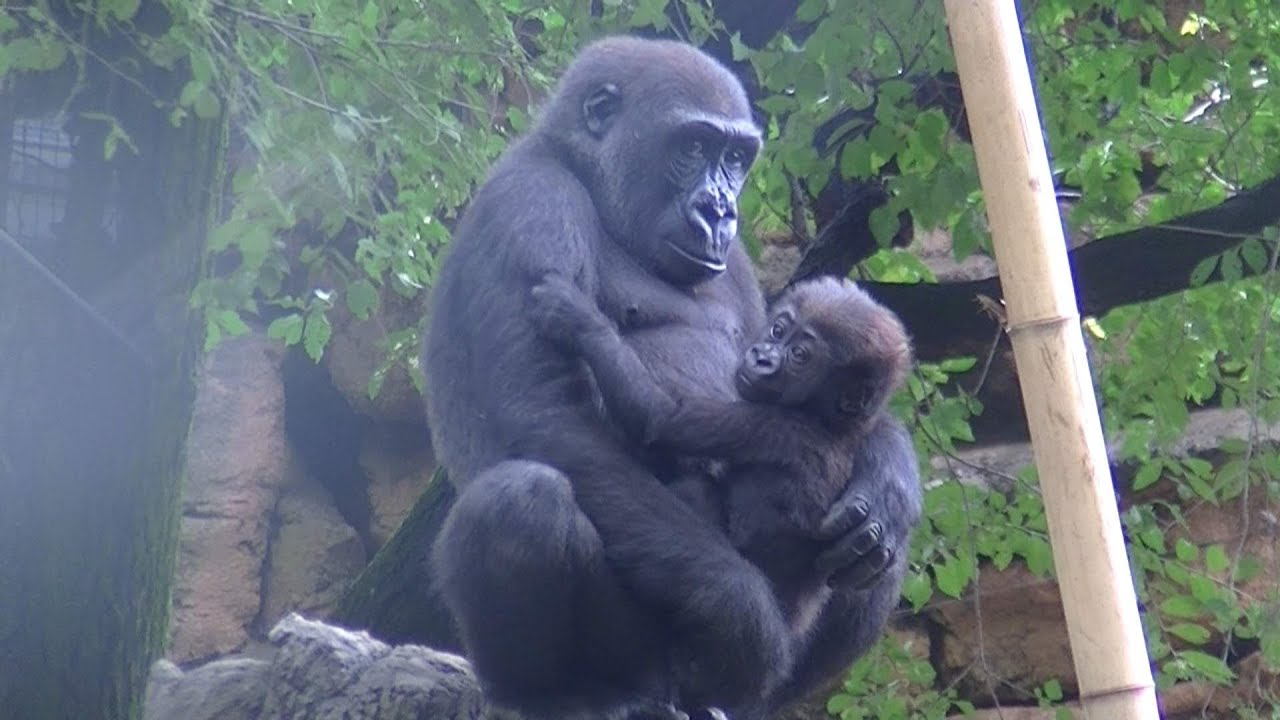 WATCH: Baby Gorilla Plays Adorable Game of Peek-a-Boo with Toddler recommend