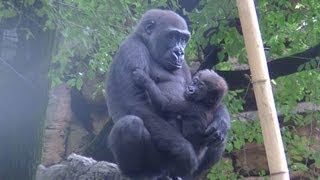 Repeat youtube video Sister dandle a baby gorilla : cute Animal