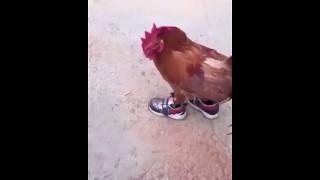 Chicken running in shoes