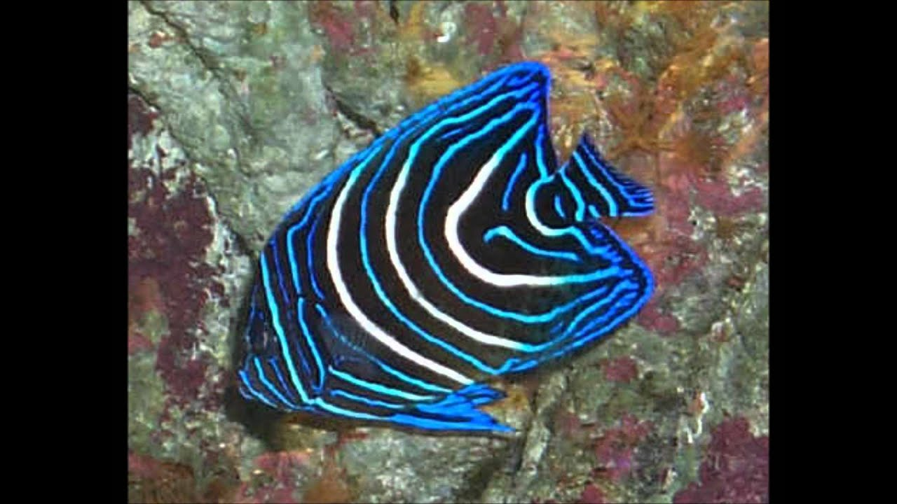My fish movie hd youtube for Black and white striped fish freshwater