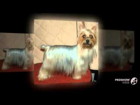Австралийский шелковистый терьер порода собак