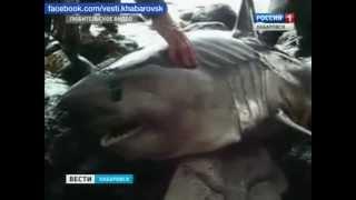 Вести-Хабаровск. Акула в Ванино