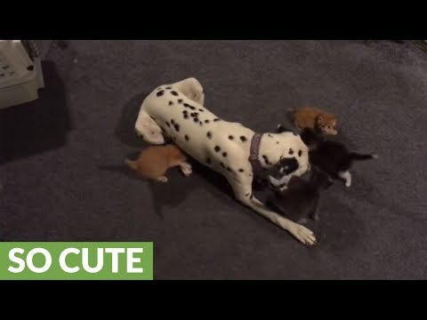 Dalmatian shares kitten responsibilities with mother cat