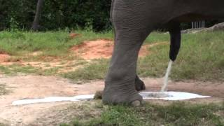 Elephant making enormous piss :^)
