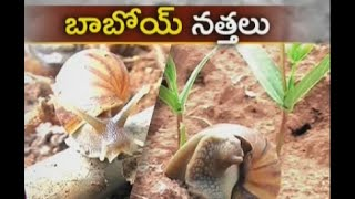 Nattalu damaging paddy fields in Krishna Dist - జైకిసాన్ - on 25th September 2015