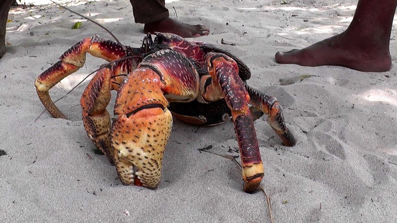 giant coconut crab u2013 the largest land crab in the world youtube
