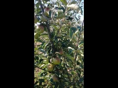 Яблони сорта Айдаред на 4 год