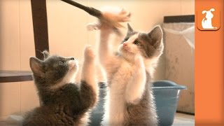 Playful Kittens Are in Awe of Majestic Feather Toy  Kitten Love