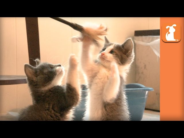 Playful Kittens Are in Awe of Majestic Feather Toy - Kitten Love