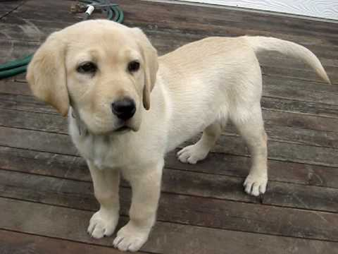 Shelby Yellow Lab Puppy 2 Youtube