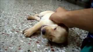Cute Labrador Retriever Puppy Sleeping  (one Month Old)
