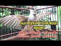 Burung Trucuk Malas Pun Jadi Nyaut Dengan Pancingan Suara Ropel Trucuk Ini  Mp3 - Mp4 Download