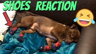A Day With Us And The Dogs Super Funny Dog Shoe Reaction
