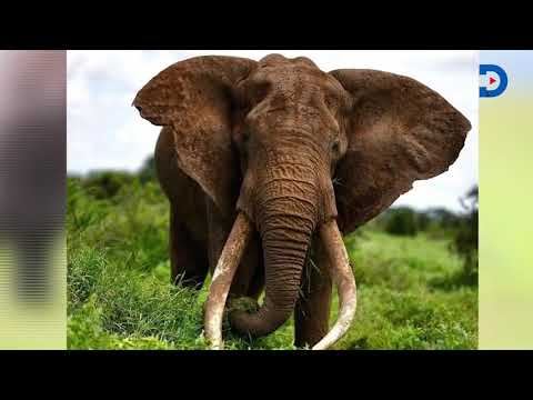 Majestic Tim the Elephant with super tusks of Amboseli is dead