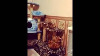 "бенгальская кошка - питомник кошек Lantana Fly - ""Cattery Bengal Cats"" - Jessica"