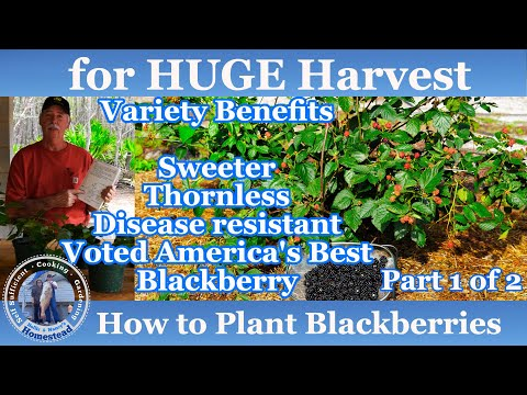 How To Grow Blackberries  (#1 Of 2) Progression Growing Guide