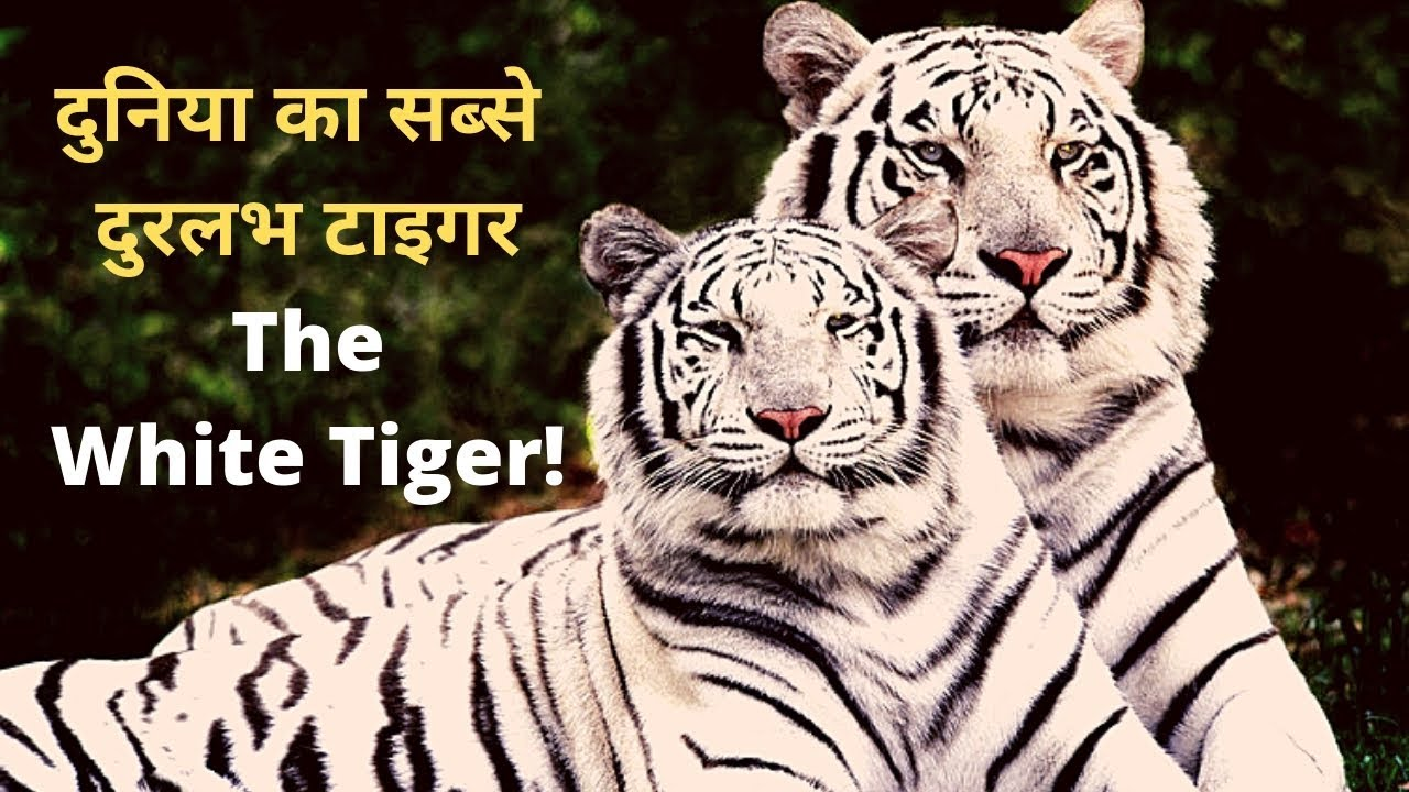 The rarest of rare tiger in the world || white tiger||Jungle Safari [Hindi]