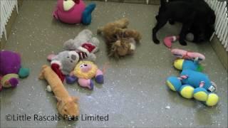 Little Rascals Uk Breeders New Litter Of 3/4 Pugs