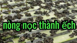 Nguyên nhân ếch 24 ngày hąo hụt, kỹ thuật nuôi ếch,
