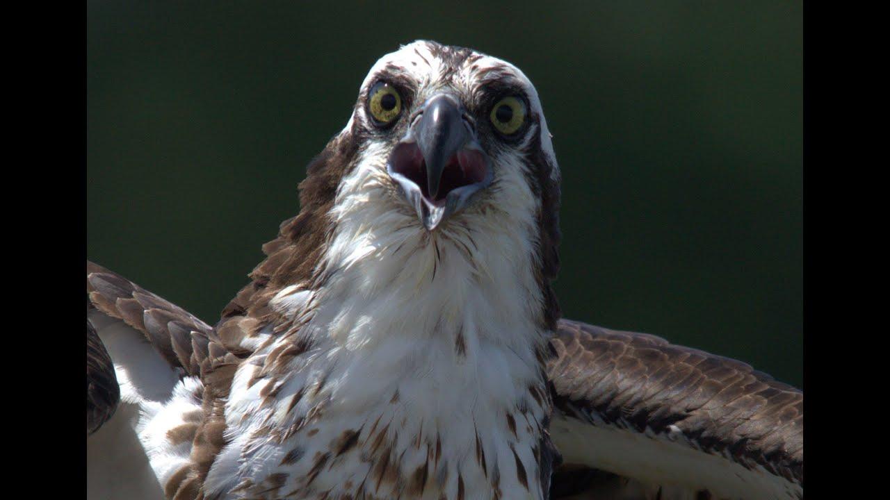 Osprey (aka Seahawk) Feeding Chicks - YouTube