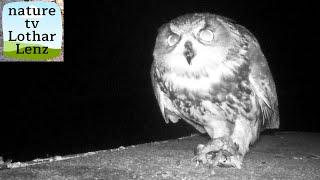 Eurasian Eagle-Owl eats Common Starling. Uhu frit Star. Eifel, Germany 14.11.2019