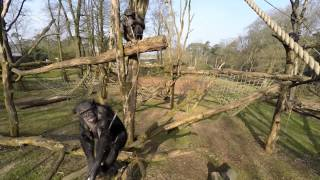 Chimpanzees get a drone down and shoot closeup video