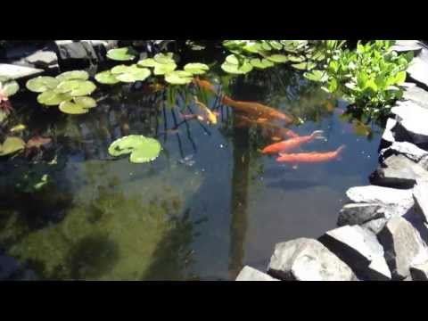 Koi BC  Koi Pond-Filter System And Pond Basics 2013