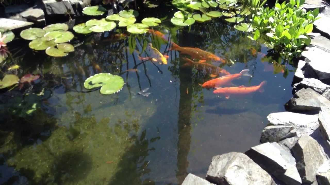 Koi bc koi pond filter system and pond basics 2013 youtube for Koi pond videos