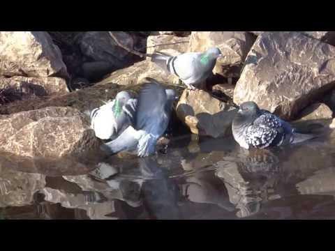 pigeons-having-a-bath,-sheffield