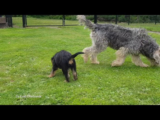 De Kweb Otterhounds          (8 weeks)