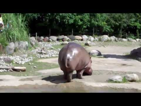 fat hippo farts and sprays poop