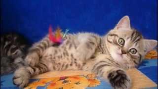 Шотландская вислоухая кошка видео Москва