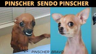 PINSCHER BRAVO    TENTE NÃO RIR COM ESSAS CRIATURINHAS  Cachorro Pinscher