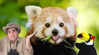 #6 O ANIMAL MAIS FOFO DO MUNDO! (PANDA VERMELHO E ARARAMBOIA)