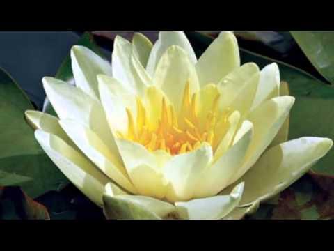 Лотос -  волшебный цветок