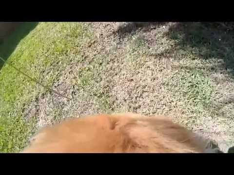 Cãominhada com Bruce -  GoPro Session - Golden Retriever